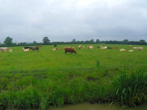 South Oxford Fields of Cattle